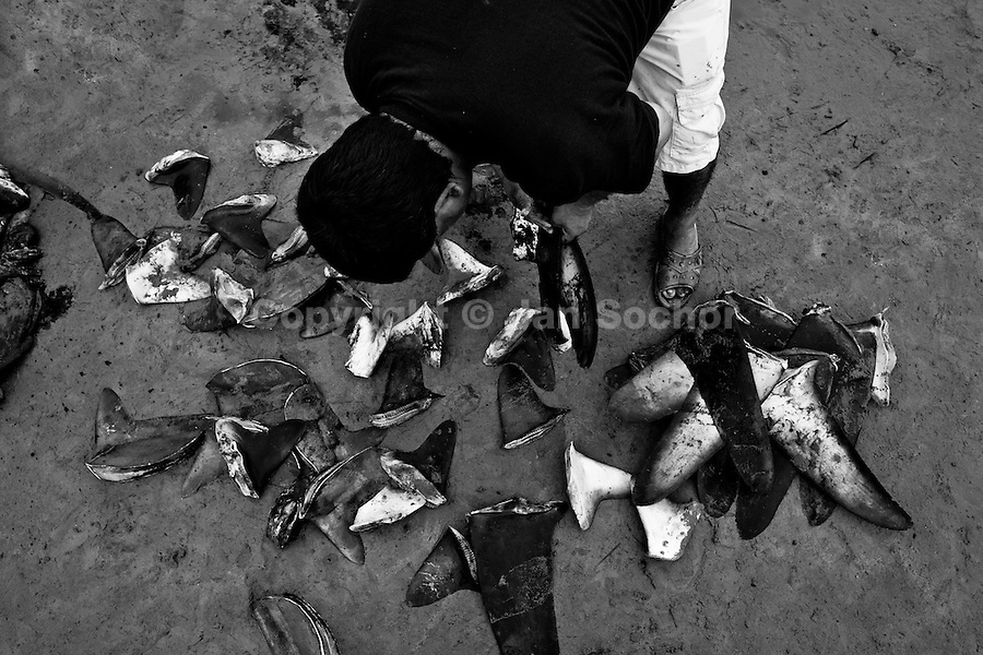 A shark fin buyer looks at a pile of shark fins on the beach of Puerto Lopez, Ecuador, 6 April 2012. Every morning, hundreds of shark bodies and thousands of shark fins are sold on the Pacific coast of Ecuador. Although the targeted shark fishing remains illegal, the presidential decree allows free trade of shark fins from accidental by-catch. However, most of the shark species fished in Ecuadorean waters are considered as ?vulnerable to extinction? by the World Conservation Union (IUCN). Although fishing sharks barely sustain the livelihoods of many poor fishermen on Ecuadorean at the end of the shark fins business chain in Hong Kong they are sold as the most expensive seafood item in the world. The shark fins are primarily exported to China where the shark's fin soup is believed to boost sexual potency and increase vitality. Rapid economic growth across Asia in recent years has dramatically increased demand for the shark fins and has put many shark species populations on the road to extinction.