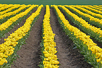 Field of yellow tulips. Mt. Vernon. Washington