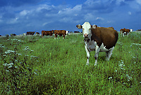 White face cow 3/4th Simmental 1/4 Angus graze in green pasture as evening comes, Missouri United States of America