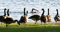 01 JUNE 2014 - LONDON, GBR - Geese watch a competitor swimming in The Serpentine in Hyde Park in London, Great Britain during the Open Age Group Olympic Distance race of the 2014 ITU World Triathlon Series (PHOTO COPYRIGHT © 2014 NIGEL FARROW, ALL RIGHTS RESERVED)