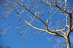 Cacao Tree,<br /> Tiputini