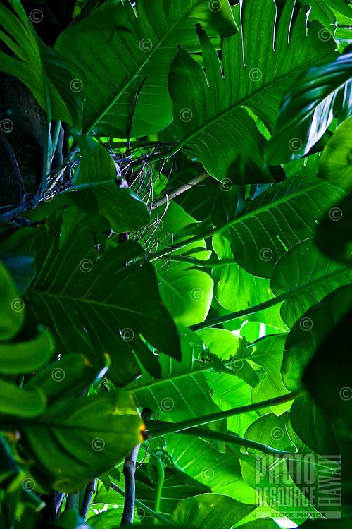 Close up of tropical Hawaiian leaves