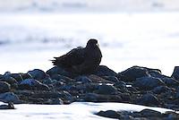 Skua waiting - Half Moon Bay Island
