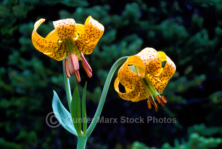 Tiger Lily aka Columbia Lily (Lilium columbianum), Yellow Wild Flower blooming in West Coast Forest, Spring