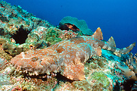well-camouflaged ornate wobbegong, Orectolobus ornatus, South Pacific Ocean