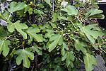 Common Fig plant