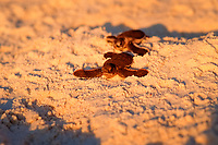 Baby Hawksbill Turtle runs on the beach to the sea, Eretmochelys imbricata, Malaysia, Pacific ocean, Borneo, Sipadan