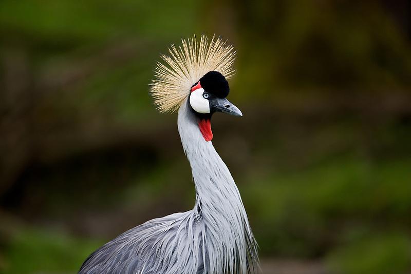 East African Crown Crane. wildlife Safari. Winston, Oregon