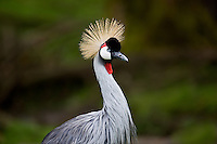 East African Crown Crane. wildlife Safari. Winston, Oregon