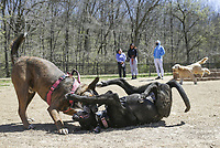 Dogs play, Thursday, April 1, 2021 at the Bentonville Dog Park in Bentonville. Check out nwaonline.com/210402Daily/ for today's photo gallery. <br />