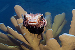 Burrfish swimming towards camera on top of Elkhorn Coral