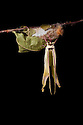 Indian Moon Moth / Indian Luna Moth {Actias selen} emerging from cocoon.  Captive. Sequence 19 of 24. website
