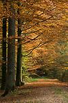 DEU, Deutschland, Bayern, Niederbayern, Naturpark Bayerischer Wald, Herbstlandschaft, Waldweg   DEU, Germany, Bavaria, Lower-Bavaria, Nature Park Bavarian Forest, autumn landscape, wood, forest
