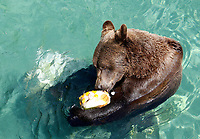A bear refreshes with frozen fruit at the Bioparco of Rome, Italy, August 8, 2017. Rome temperatures exceeded 40 degrees C.<br /> UPDATE IMAGES PRESS/Riccardo De Luca