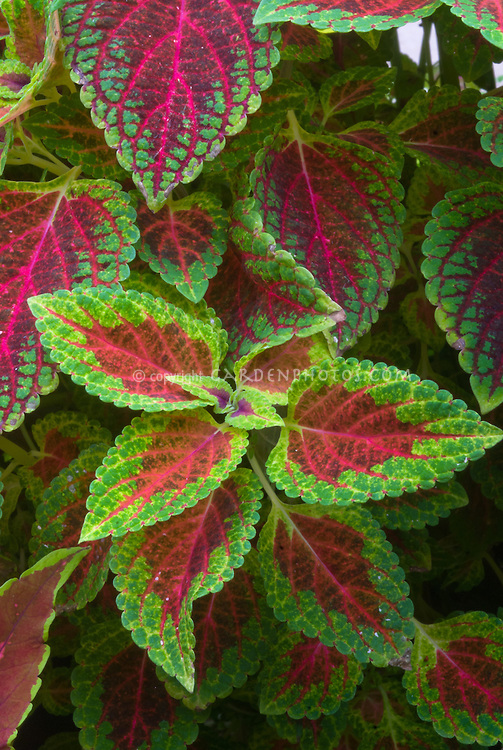 Solenostemon (Coleus) 'Red Dwarf', annual foliage plant with green edges and red centers leaves