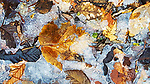 Fall leaves frozen in ice along shoreline of small lake.