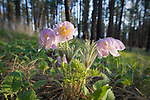 Pasque flowers blooming in the Lolo National Forest near Missoula, Montana