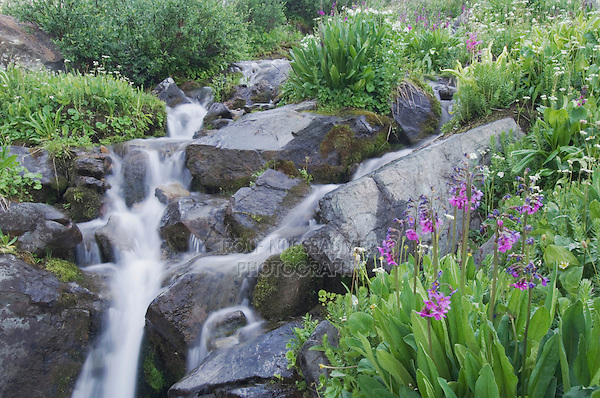 Mountain stream and wildflowers,Parry's Primrose,Primula parryi, Ouray, San Juan Mountains, Rocky Mountains, Colorado, USA