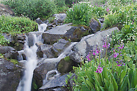 Mountain stream and wildflowers,Parry's Primrose,Primula parryi, Ouray, San Juan Mountains, Rocky Mountains, Colorado, USA