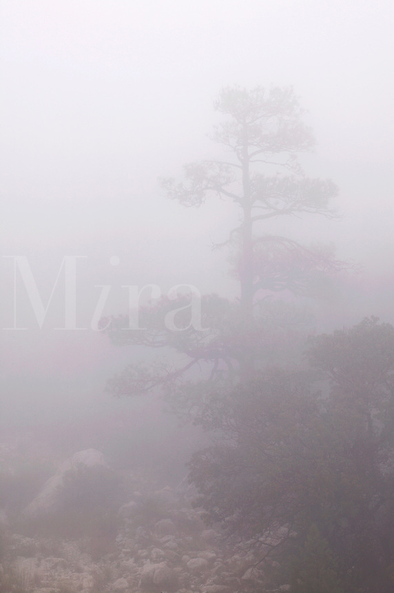 Ponderosa pine tree in fog, Pine Spring Canyon, Guadalupe Mountains National Park, Texas