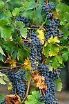 Cabernet Sauvignon wine grapes on vine; Valley View Vineyards, Applegate Valley, Oregon.  .#9031-5018