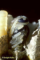HY15-046g  Yellow Jacket - adult ready to emerge from pupa stage - Vespula  spp.