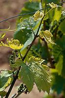 Weinpflanze bei Villamajor de Monjardin, Navarra, Spanien