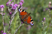 Tagpfauenauge, Tag-Pfauenauge, Blütenbesuch, Aglais io, Inachis io, Nymphalis io, peacock moth, European peacock, peacock, peacock butterfly, Le Paon du jour