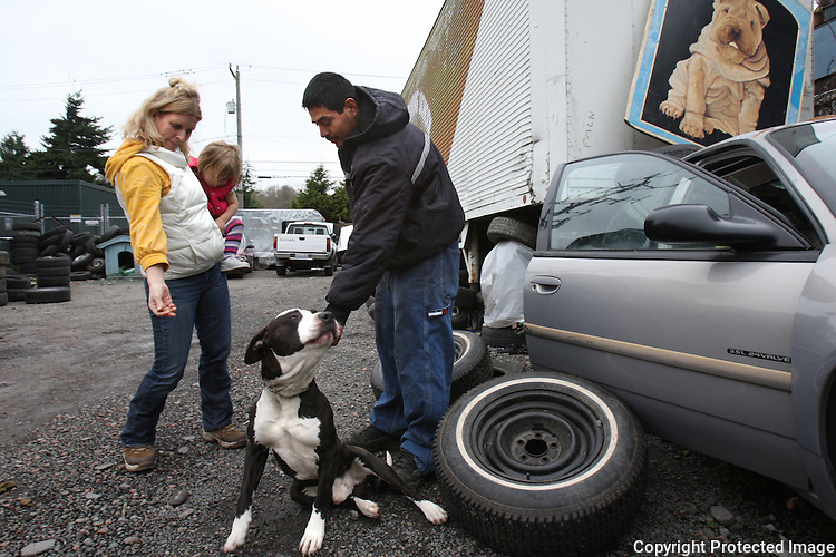 """Kelly Page and her daughter Maggie, age 2, offer a dog treat to a dog living in Albertson Used Tire yard in West Seattle on January 9, 2009. The one year old pitbull named Bush, after President Bush, is shut in the car during work hours, then let out to guard the tire yard by night.  His owner, the owner of the tire shop, Alberto Quintanilla thinks the ban on the chaining ordinance is a good idea and adds that he doesn't take the dog home with him because he would put him on a chain.  The dog doesn't get any interaction with people because Alberto says his customers don't like it.  """"That's where he needs to be"""" he says.  He's doing OK in the car."""" (Karen Ducey/Seattle Post-Intelligencer)"""