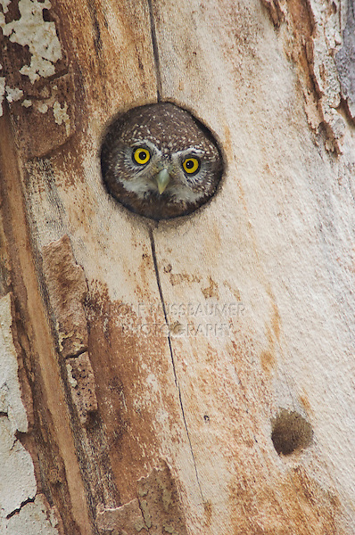 Northern Pygmy-Owl, Glaucidium gnoma, adult in nest hole in sycamore tree, Madera Canyon, Arizona, USA