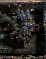 """Uruçu é uma palavra que vem do tupi """"eiru su"""", que nessa língua indígena significa """"abelha grande"""". Essa nomenclatura está relacionada com diversas abelhas do mesmo gênero, encontradas não só no Nordeste, mas também na região Norte. No Brasil, existe a Uruçu amarela (Melipona rufiventris), bem como a Uruçu Verdadeira ou Uruçu do Nordeste (Melipona scutellaris). <br /> <br /> A tendência, porém, é a de reservar o termo """"Uruçu"""" para destacar o seu tamanho avantajado (semelhante à Apis), pela produção de mel expressiva entre os meliponídeos e pela facilidade do manejo, pois são abelhas mansas.<br /> <br /> Estudos já realizados mostraram o relacionamento da Uruçu com a mata úmida, que apresenta as condições ideais para as abelhas construírem seus ninhos, além de encontrarem, em árvores de grande porte, espécies com floradas muito abundantes, que são seus principais recursos alimentares, bem como locais de morada e reprodução.<br /> <br /> A Uruçu (Melipona scutellaris) possui uma preferência floral mais seletiva do que as abelhas africanizadas, razão porque se encontram em vias de extinção.<br /> <br /> Ocorrência<br /> <br /> A abelha Uruçu é uma abelha sem ferrão, nativa do Brasil, encontrada na zona da mata do litoral baiano e nordestino. Esta espécie prefere habitar locais úmidos, nidificando em árvores de grande porte.<br /> <br /> Foto"""