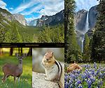 Yosemite Valley Discovery View, Yosemite Falls, Mule Deer, Golden Mantled Squirrel, Wawona Lupines, Yosemite National Park