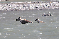 A female cariboiu and her child swim across the Kongakut River, in Alaska's Arctic National Wildlife Refuge.