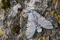 Großer Gabelschwanz, Cerura vinula, Dicranura vinula, puss moth, La Queue fourchue, Vinule, Grande harpie, Zahnspinner, Notodontidae