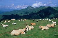 Europe/France/Aquitaine/64/Pyrénées-Atlantiques/Plateau d'Iraty: Vaches en pâturages et le Pic des Vautours