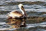 Pelican Floating 2, Bolsa Chica, CA.