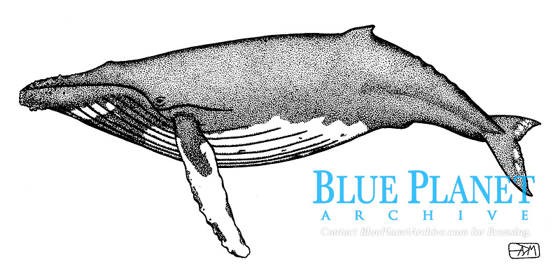 Humpback whale, Megaptera novaeangliae, lateral view, pen and ink illustration.