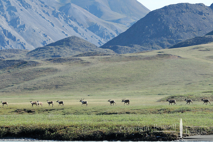 A group of caribou trots along the Hulahula River, which runs through Alaska's Brooks Range and the Coastal Plain in the Arctic National Wildlife Refuge.
