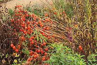 Physalis alkekengii in late November seedheads in Fall garden