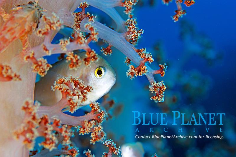 Pearl-spot chromis, Chromis notata, Futo, Sagami bay, Izu peninsula, Shizuoka, Japan, Pacific Ocean