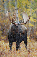 Moose, Alces alces, bull in snowstorm with aspen trees in background in fallcolors, Grand Teton NP,Wyoming, September 2005