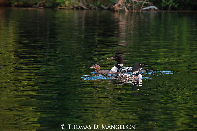 A family of loons swim on Lake Anishinabi in Ontario, Canada.