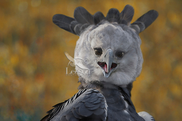 Harpy Eagle screeching.