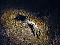 spotted hyena, Crocuta crocuta, adult at night in South Luangwa National Park, Zambia, Africa