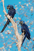 Hyacinth Macaws (Anodorhynchus hyacinthinus), pair, Pantanal, Brazil, South America