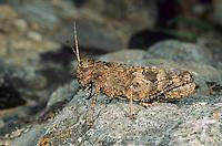 Pferdeschrecke, Weibchen, Celes variabilis, Black Grasshopper, female