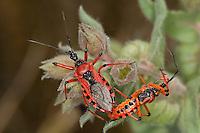 Rote Mordwanze, Zornige Raubwanze, Paarung, Kopula, Kopulation, Rhinocoris iracundus, Rhynocoris iracundus, red assassin bug, Reduviidae, Raubwanzen, assassin bugs, conenose bugs