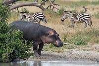 Hippopotamus, Hippopotamus amphibius, approaches a pond in Tarangire National Park, Tanzania, while two Grant's Zebras, Equus quagga boehmi, walk in the background.