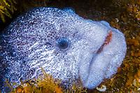 Wolf-eel Anarrhichthys ocellatus Southeast Alaska