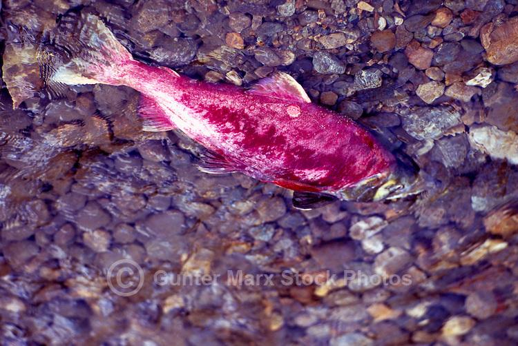 Annual Adams River Sockeye Salmon Run (Oncorhynchus nerka), Roderick Haig-Brown Provincial Park near Salmon Arm, BC, British Columbia, Canada - Tagged Fish returning to Spawn